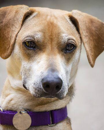 Young male beagle mix portrait shot.