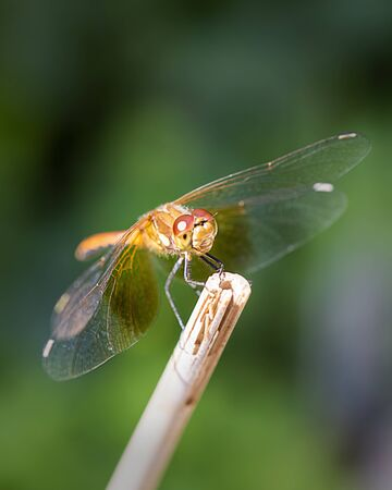 Dragonfly on the tip of a bamboo stick.
