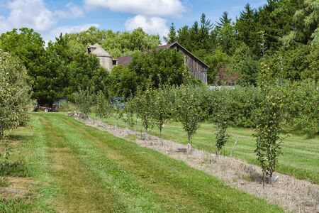Looking down an old apple orchard at an old barn and silo peaking out of the trees.