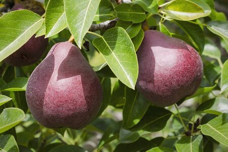 A pair of red pears hanging from a branch in an orchard. 스톡 콘텐츠