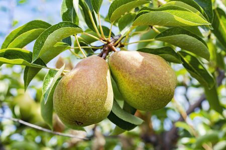 A pair of pears on a branch in an orchard.  Blurry background.  Blue sky. 스톡 콘텐츠