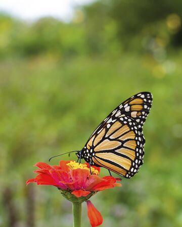 Monarch butterfly on orange Zinnia flower.  Blurry background.