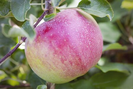 A close up side view of an apple on a tree. 스톡 콘텐츠