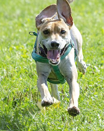 Close up of beagle terrier mix running  through the grass at dog park.