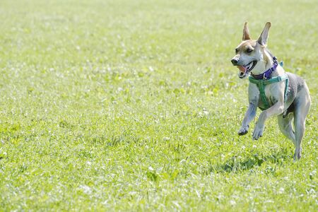 A beagle terrier mix running through grass at dog park.  Dog on right with plenty of copy space on the left.