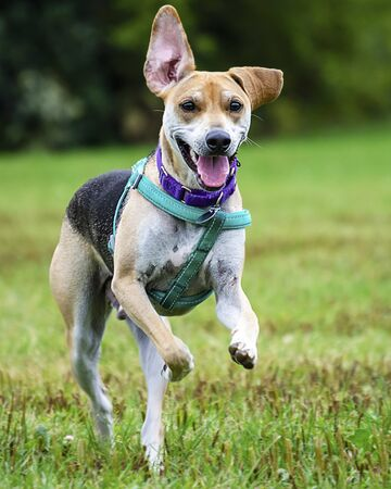 Beagle terrier mix running through the grass at a dog park.