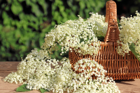 botanical medicine: Basket with elderflower