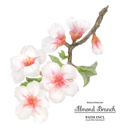 Watercolor illustration, flowering almond branch on a white backdrop, path included