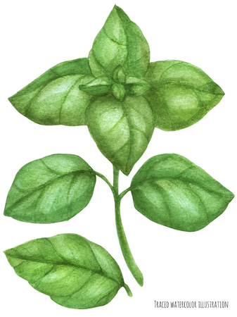 Fresh basil green branch. Botanical watercolor traced illustration 写真素材 - 121134776