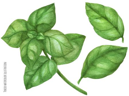 Fresh basil green branch. Botanical watercolor traced illustration