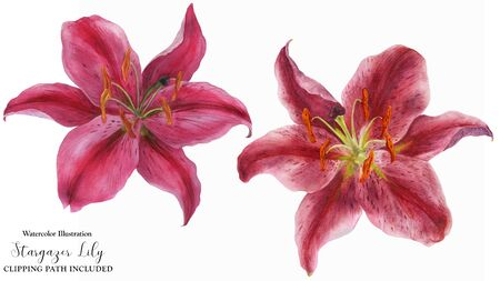 Pink Lily Stargazer, watercolor isolated flowers