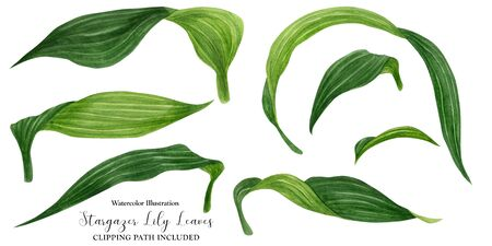 Fresh green leaves of lily, watercolor