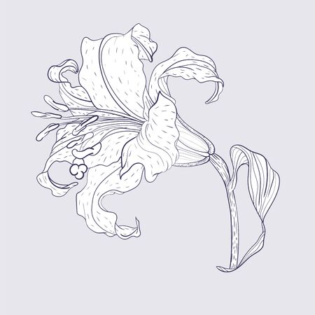 Asian Lily Flower, line art style 向量圖像
