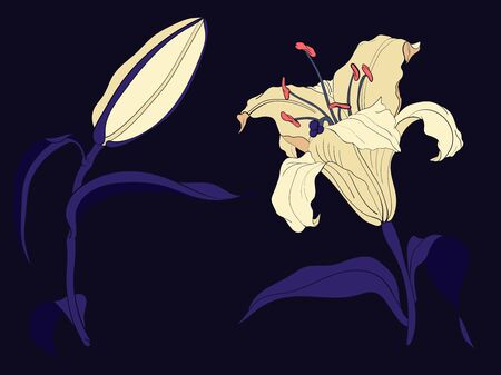 Oriental Lily flower and bud, colored illustration 向量圖像