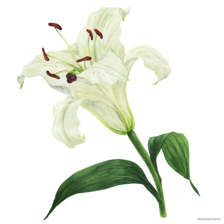 Blooming flower of White Oriental Lily, botanical traced watercolor
