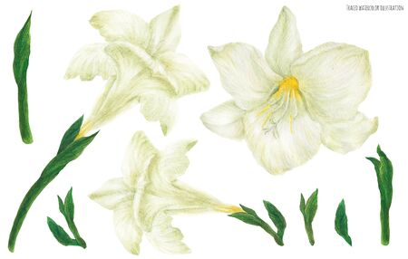 Freesia white flowers and buds, traced watercolor illustration
