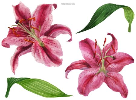 Asian Lily Stargazer, traced watercolor flowers and leaves