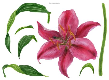 Asian Lily Stargazer flower and leaves, traced watercolor