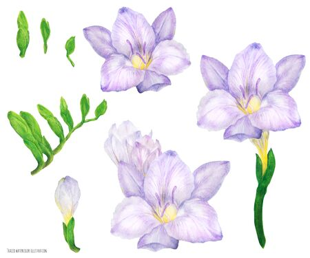 Freesia lilac flowers and buds, traced watercolor illustration