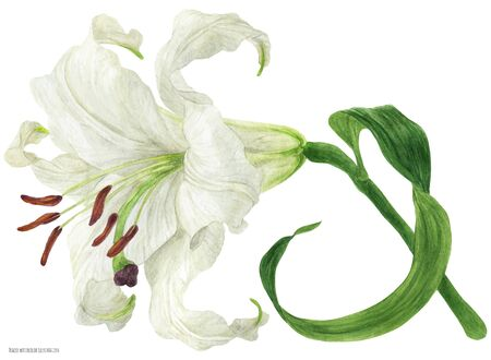 Blooming flower branch of White Oriental Lily, botanical traced watercolor