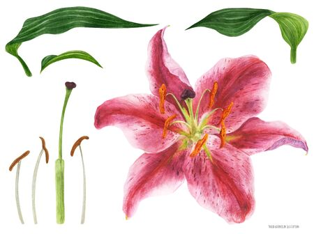 Asian Lily Stargazer flower and pistil, traced watercolor