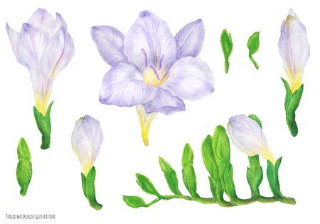 Freesia violet flowers and buds, traced watercolor illustration
