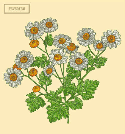 Medical Feverfew Branch, hand drawn illustration in a retro style