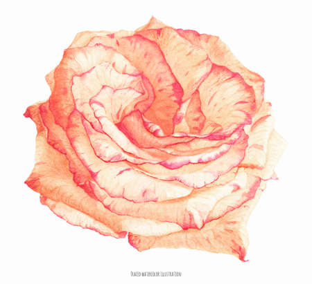 Fresh two-tone cream coral rose flower, botanical realistic traced watrecolor
