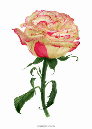 Fresh two-tone creamy coral rose, botanical realistic watrecolor traced illustration