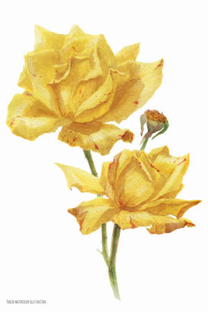 Yellow autumn roses, botanical traced watercolor illustration