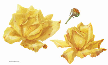 Two yellow rose flowers, botanical traced watercolor illustration
