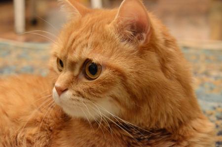 Redhead cat Stock Photo