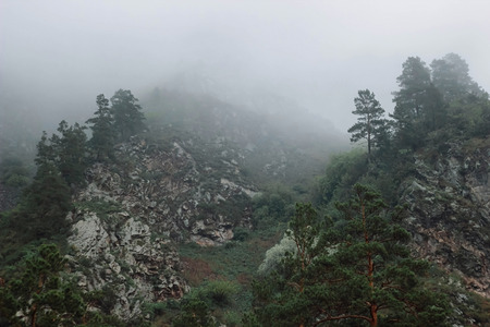 Forest mountain with the conifer trees in fog and cloud. Beautiful landscape with fir forest in dense fog. Closeup forest