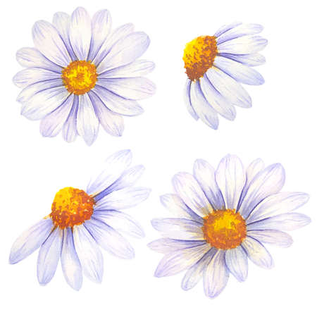 Watercolor daisy hand painted illustration, watercolor daisy isolated on white background. Watercolor floral. Botanical Drawing. Chamomile Watercolor. Stock Photo