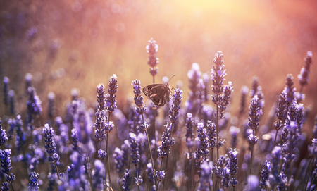 Pastel light with butterfly, lavender flowers with summer sunlight. Hvar Island in Croatia.