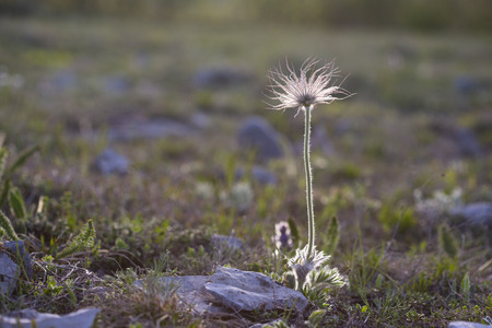 Perfect anemone, Pulsatilla taurica, Ranunculaceae, solitary wild meadow mountain flower in may at the lower plateau Chatyr-Dag in the sunset, Crimea, Russia. Spring field background. Stock Photo