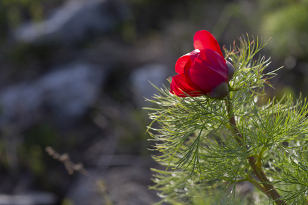 Paeonia tenuifolia, wildflower meadow mountain flower in may at the lower plateau Chatyr-Dag in the sunset, Crimea. Stock Photo