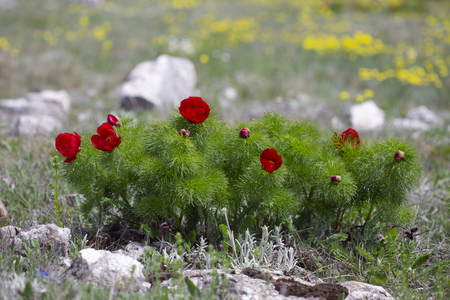 Spring bright blooming mountain meadow. Paeonia tenuifolia, wildflower meadow mountain flower in may at the lower plateau Chatyr-Dag, Crimea