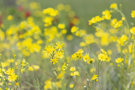 Bright yellow wildflowers Senecio vernalis, Asteraceae on spring  mountain meadow.