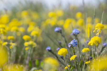 Bright spring blooming meadow with yellow flowers Alyssum trichostachyum and blue Myosotis lithospermifolia.
