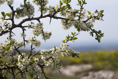 Wild cherry blossoms at the lower plateau Chatyr-Dag, Crimea. Blooming yellow mountain meadow on the background. Stock Photo