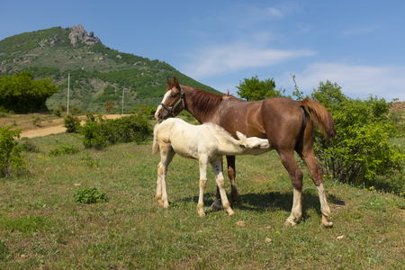 White foal drinking milk from his mother horse in the pasture. A mare and her foal are standing in front of Demergy mountain in the sunny spring day near Alushta, Crimea.