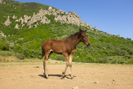 Cute young horse at the foot of the mountain. Foal is standing in front of Demergy mountain in the sunny spring day near Alushta, Crimea.  Stock Photo