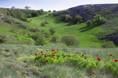 Spring bright blooming mountain meadow and green ravine. Paeonia tenuifolia, wildflower meadow mountain flower in may at the lower plateau Chatyr-Dag, Crimea Stock Photo