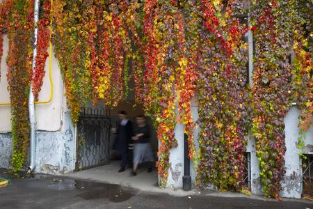 Rainy morning in the city. Strangers are passing by colorful red, yellow and purple fall thickets of wild grapes.