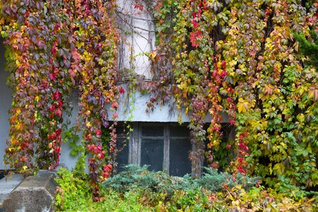 Rainy morning in the city. Colorful red, yellow, purple and green fall bushes of wild grapes.