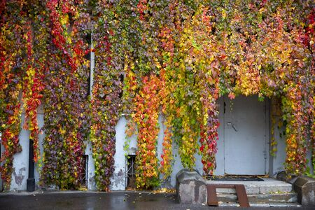 Rainy morning in the city. Colorful red, yellow and purple fall thickets of wild grapes.