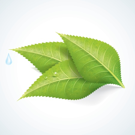 leaf water drop: Green Leafs with Water Drop EPS10 Illustration