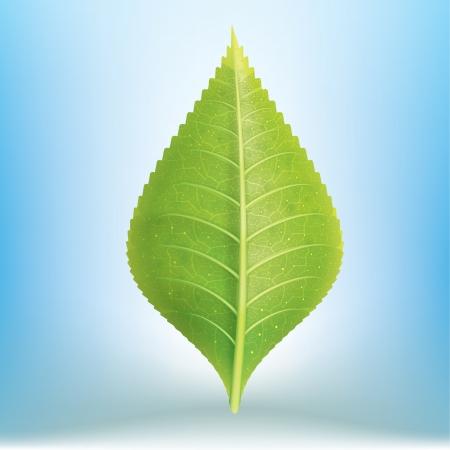 Realistic Green Leave EPS10 Illustration