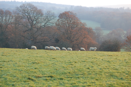 weald: Winter View of  Kent Countryside Just Outside Tunbridge Wells With Grazing Sheep Stock Photo